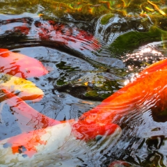 Koi pond. Selby Gardens. Sarasota, Florida. 2011.