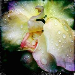 Hibiscus after rain. Seminole, Florida. 2012.